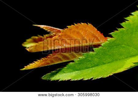 Extreme close up shot of fresh spring leaves