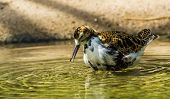 Female ruff standing in the water ready to preen her feathers, Wading bird from Eurasia poster