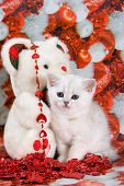 Cute white british kitten in red decoration poster