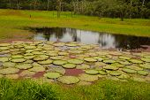 Victoria Regia, the worlds largest leaves, of Amazonian water lilies. Amazonas, Brazil poster