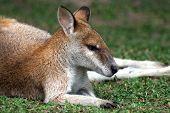 Sleeping small cute red kangaroo in Australia poster