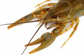 Live crayfish in close-up on a light background poster