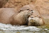 Oriental Short Clawed Otters cuddling in a stream poster