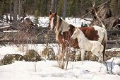 Wild horses, a pinto mare and a white foal, in the wilderness of northern Alberta, Canada. poster