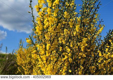 Cytisus Scoparius, Common Broom Or Scotch Broom Yellow Flowers Closeup Selective Focus.