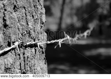 Black And White Image Of Barbed Wire On The Tree, Focus On Barb Wire, The Tree Is Bleeding Because O