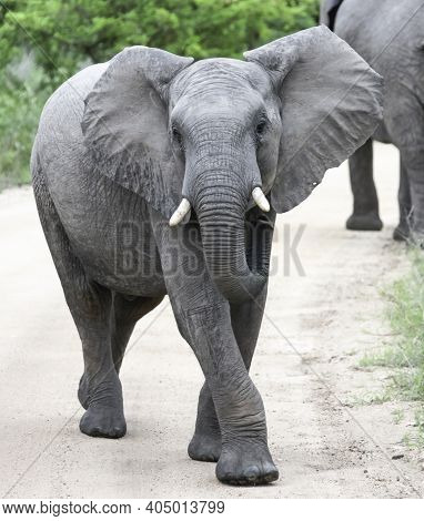 Elephant Is Actively And Aggressively Walking Towards You On The Roadway. Young African Elephant Com