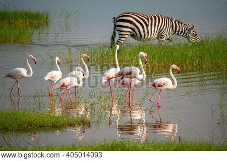 Lesser Pink Flamingos And Zebra Are Grazing In The Lake In Ngorongoro Conservation Area In Tanzania,