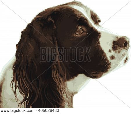 Vector Drawing Of Springer Spaniel Isolated On White Background