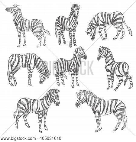 Zebras Sketches, Equine Mammals With Stripes Fur