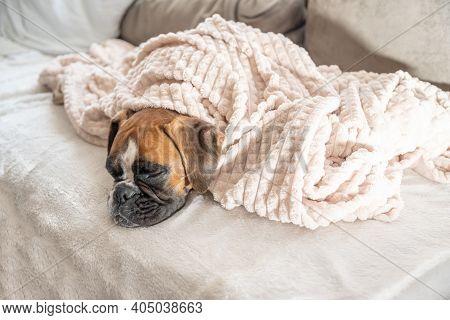 Cute Face 9 Months Old Purebred Golden Puppy German Boxer Dog Closeup Sleeping Under Blanket Warming