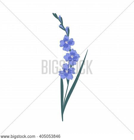 Stem With Delicate Blue Blossomed Gladiolus Flowers Isolated On White Background. Botanical Floral E