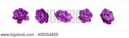 Various Buds Of Purple Tulip Isolated On White Background. Creative Floral Composition With Tulips.