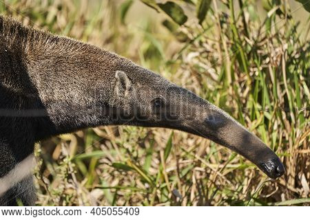 Portrait Of A Giant Anteater Walking Over A Meadow Of A Farm In The Southern Pantanal. Myrmecophaga