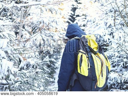Walk In Winter Forest. Rear View Of Man Walking On Snow Amidst Trees In Forest During Winter. Portra