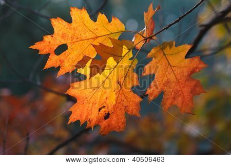Orange Oak Autumn Leaves