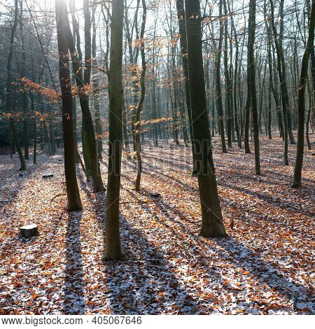 Forest With Young Beech Trees And Dusting Of Snow On Ground Leaves Backlit By Winter Sun Near Utrech