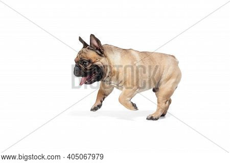 Happiness. Young French Bulldog Is Posing. Cute Doggy Or Pet Is Playing, Running And Looking Happy I