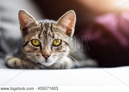 Cute Little Playful Fluffy Little Tabby Cat Relaxing Enjoy Lying, Playing And Dreaming On Cozy Soft