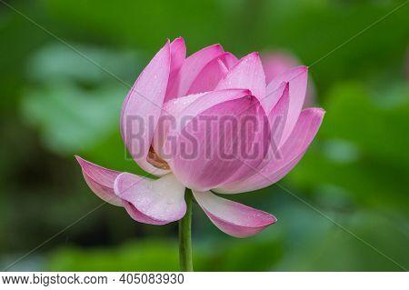 Blooming Lotus Flower Close-up. Lotus Blossom. Beautiful Pink Lotus Flower On The Lake.
