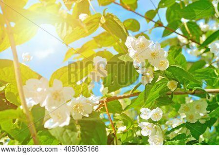 Spring landscape. Jasmine spring flowers on the background of the blue sky under bright sunlight - spring flower background. Soft filter applied
