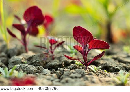Deep Reddish Coloured Leaves Also Called Red Leafy Or Spinach Or Creeper
