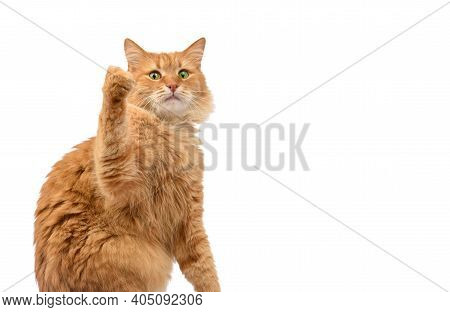 Adult Fluffy Red Cat Sitting And Raised Its Front Paws Up, Animal Isolated On A White Background, Co