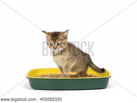Kitten Golden Ticked Scottish Chinchilla Straight Sitting In A Plastic Toilet With Sawdust. Animal O
