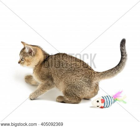 Cute Kitten Scottish Golden Chinchilla Straight Breed, Cat Playing On White Background