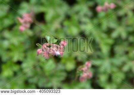 Dalmatian Cranesbill Flower Buds - Latin Name - Geranium Dalmaticum