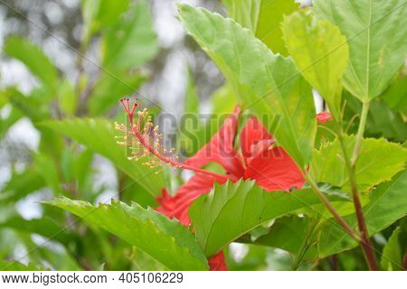 Anther Of Hibiscus Flower And The Green Leaves Around It