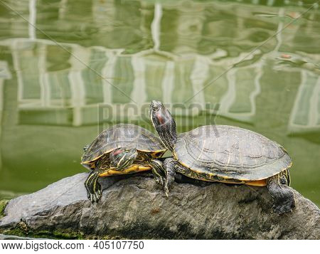 Turtle In The Water Pond With Refraction Of The Tree And Building On The Water On The Hualin Street