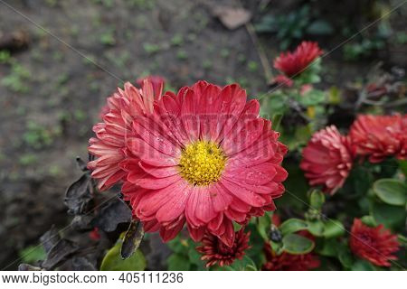 Cerise Red Flower Of Chrysanthemum With Droplets Of Water In October