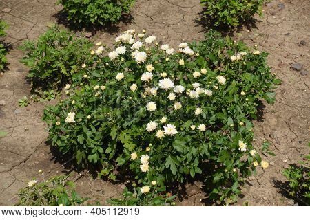 Beginning Of Florescence Of White Chrysanthemums In July