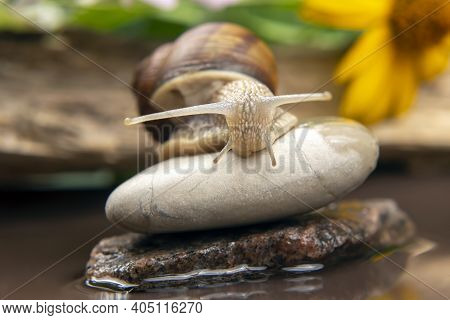 Helix Pomatia. Snail Climbs From Stone To Stone. Mollusc And Invertebrate. Delicacy Meat And Gourmet