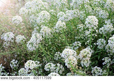 Alyssum Flowers. Lobularia Maritima Flowers. Spring And Summer Flowers Background Texture, Meadow. W