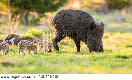 Adult Wild Boar With Piglets Grazing On Grass In Spring