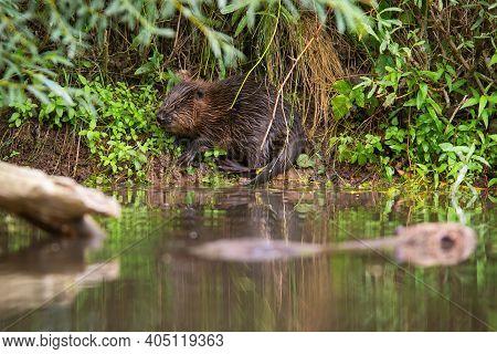 Hidden Eurasian Beaver Chewing Plants On Riverside Just Above Water In Summer.