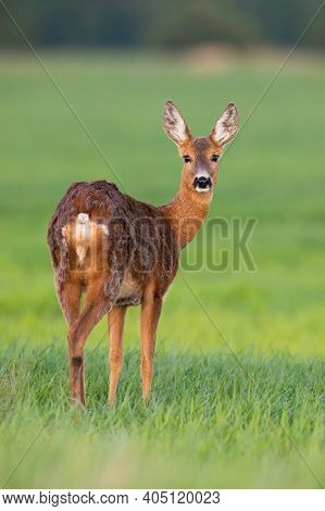 Roe Deer Doe In Vertical Composition Facing Camera On Meadow In Springtime