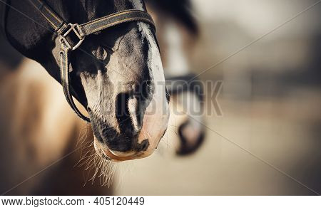 The Noses Of Horses In Halters In The Paddock. Sporty Stallions Brown Color In A Halter In The Levad