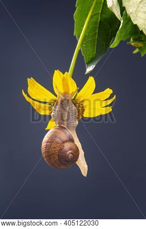 Helix Pomatia. The Snail Hangs On A Yellow Flower And Eats A Petal. Mollusc And Invertebrate. Delica
