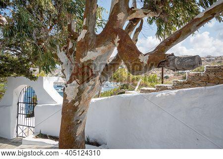 Eucalyptus Tree Growing In The Garden Next To The Church Of Agia Irini. Ios Island, Greece