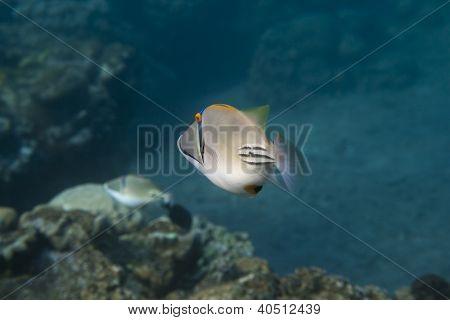 Ostenec Rhinecanthus Picasso je pod vodou