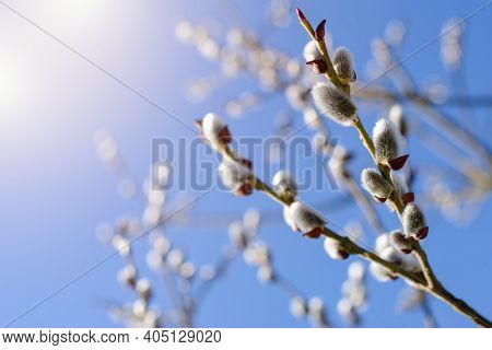 Fresh Spring Catkin Branches With Blue Sky On The Background And Sunlight