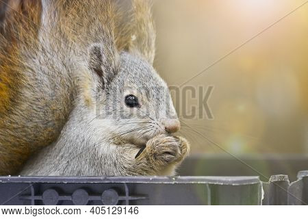Young Squirrel Sits In A Bird Feeder And Eats Seeds. Close-up Portrait Of An Animal. Cute Fluffy.
