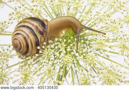 Helix Pomatia. Little Snail Crawling On A Flower. Mollusc And Invertebrate. Delicacy Meat And Gourme