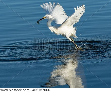 Graceful And Beautiful Snowy White Egret Bird Has Spread Wings While Ascending To Left With A Freshl