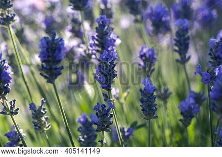 Closeup Photo Of Beautiful Gentle Lavender Flower Field