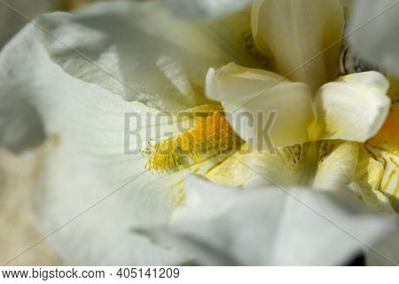 Close-up Abstract Image Of White Iris Flower. Spring Macro Outdoor.white Spring Flowers In A Garden