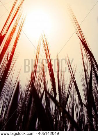 Toned Photo Of High Grass Silhouette And Red Sun